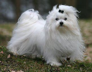 maltese breed breeds that don t shed choose your preferred breed pets world