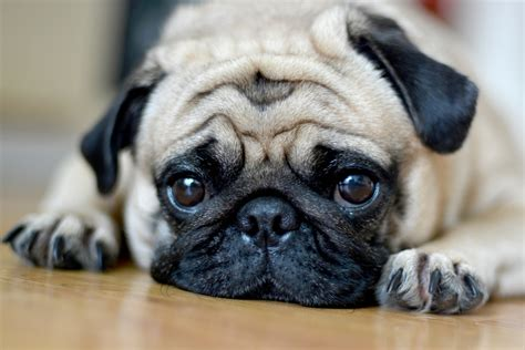 how are pugs in heat top 7 breeds for fighting depression