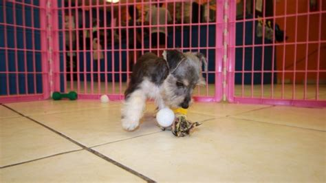 schnorkie puppies for sale playful schnorkie puppies for sale in ga near atlanta at puppies for sale
