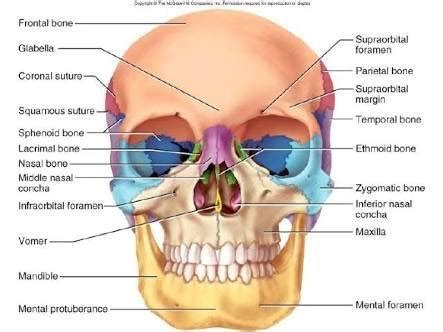 the human skull is divided into what two sections how many bones are present in the human skull quora