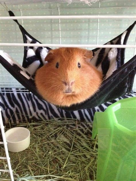 best bedding for guinea pigs 17 best ideas about guinea pig bedding on pinterest guinea pig cages guinea pig