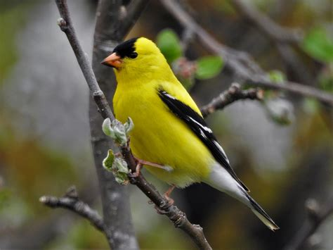 american goldfinch birdwatching