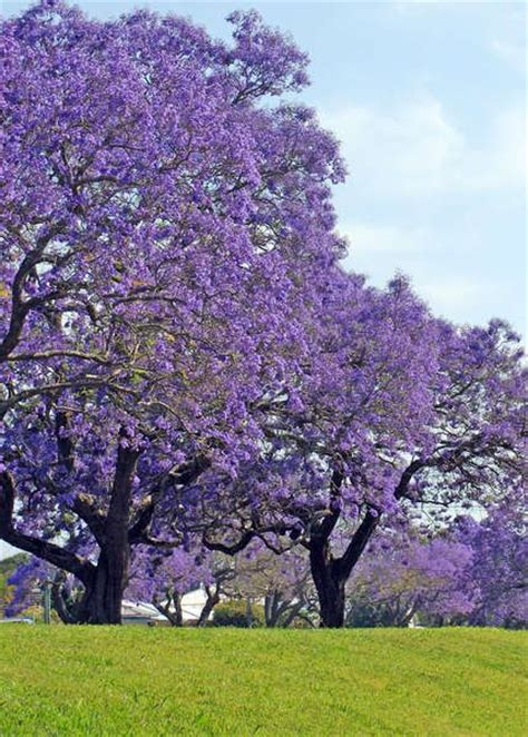 quot jacaranda trees on east coast beautiful in oct and nov quot re pinned on my tree board but after
