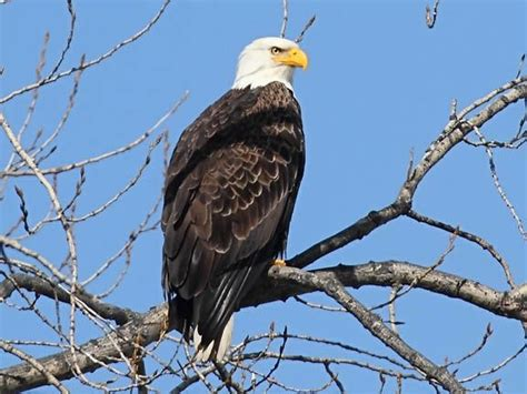 comfort eagle meaning 17 best images about my back yard on pinterest coyotes