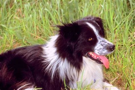haired border collie puppies do haired border collies grow hair pets