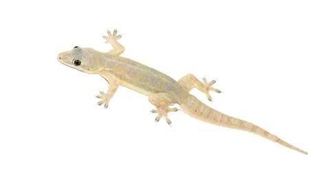 how to get rid of lizards in your house how to get rid of lizards without killing them plus beneficial facts pestwiki