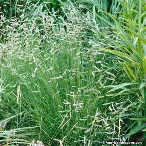 blue grama grass seeds bouteloua gracilis american