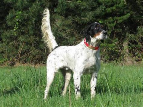 english setter dog pictures english setter dog pictures