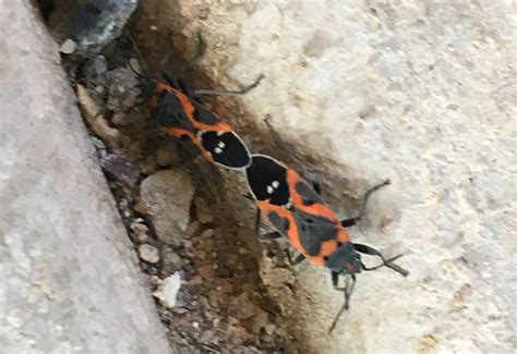 how do bed bugs mate mating small milkweed bugs what s that bug