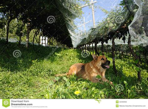 dogs in the vineyard in the vineyard stock photo image 22430350