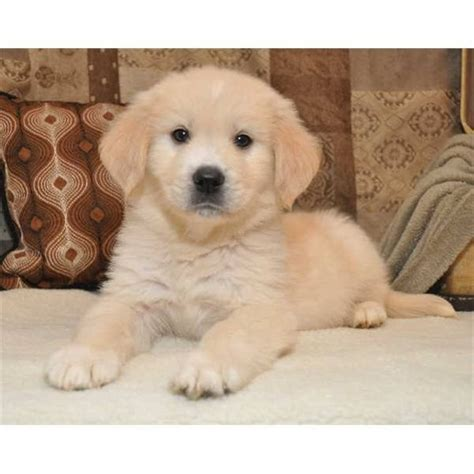 golden pyrenees puppies 1000 images about golden pyrenees pups on