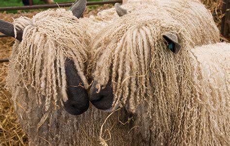 sheep breeds      sheepish  field