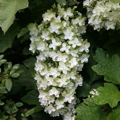 buy oak leaved hydrangea hydrangea quercifolia snowflake