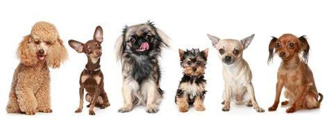perros peque os para apartamentos 10 razas de perros peque 241 os caracter 237 sticas cuidados fotos