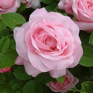 libro the rose rhs rose ibride perpetue giardinaggio irregolare