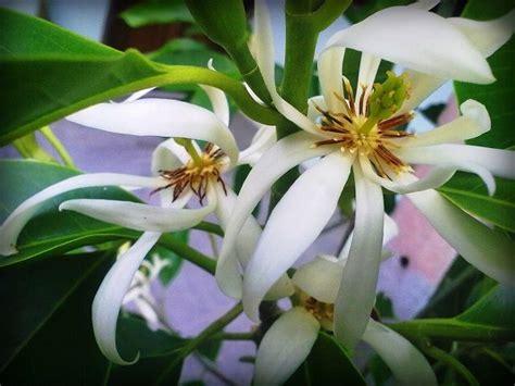 Hadiah Unik Bunga Berpengawet Pot Putih Bunga Dalam Pot cara menanam bunga kantil sederhana ala rumahan tanaman hias bunga buah dan sayur