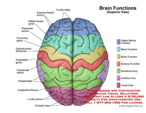 brain diagram lobes brain functional areas recherche neuroscience