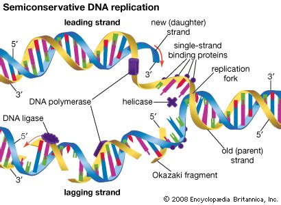 dna replication process diagram badgermama