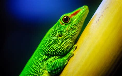 vivid lizard wallpapers and images wallpapers pictures