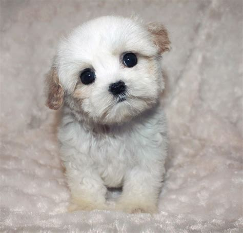 moltipoo wiki maltipoo adult size teacup maltipoo puppy for sale