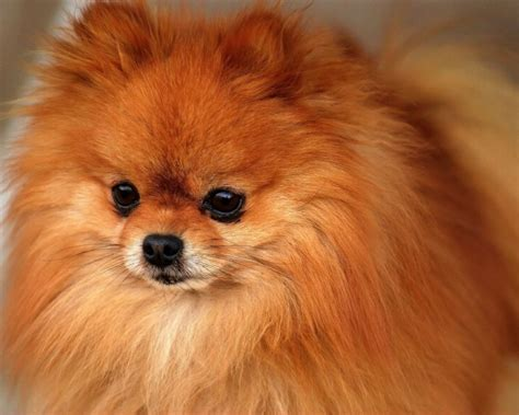 pomeranian standard size pomeranian breed standard info pet it apparel