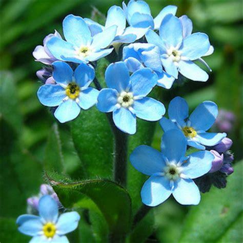 fiore nontiscordardime pianta non ti scordar di me consegna piante domicilio