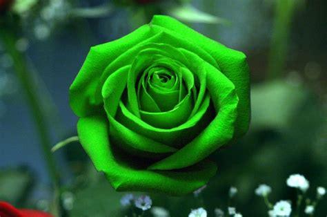 imagenes verdes hermosas hermosas rosas de color verde las mejores fotograf 205 as