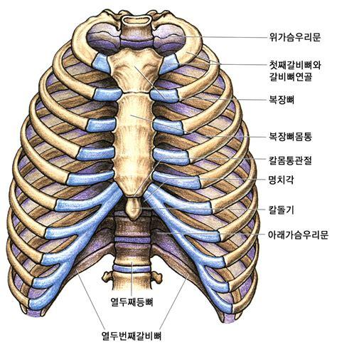 sternum diagram sternum articulation anatomy quotes
