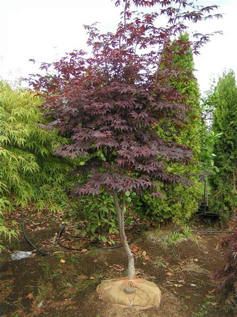 maple tree east 87 best images about japanese maples on gardens japanese maple bonsai and bonsai trees