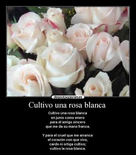 imagenes de luto rosa blanca rosa blanca de luto con frases imagui