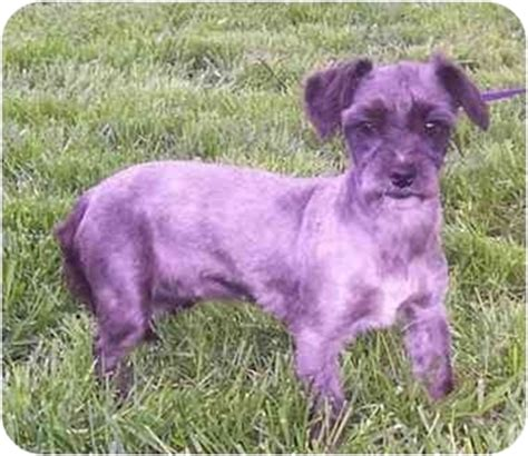 shih tzu rescue kansas city madeleine adopted kansas city mo shih tzu schnauzer miniature mix