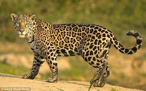 what s the difference between a jaguar and what is the difference between a jaguar and a leopard quora