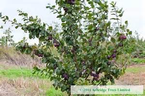 marjories seedling plum trees for sale ashridge trees