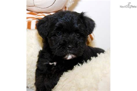 pictures of teacup yorkie poo puppies yorkiepoo yorkie poo puppy for sale near columbus ohio 3175ed53 d1b1