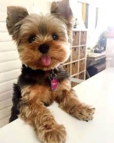 hair cut for tea cup yorkies best 25 yorkie ideas on pinterest
