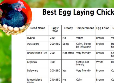 egg laying chickens