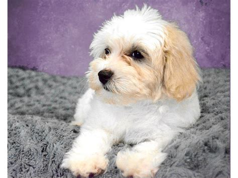 free puppies riverside poodle puppies for sale archives the fancy puppy