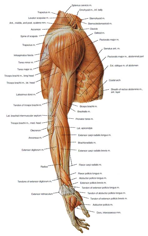 diagram back muscles muscles at the back of arm arm anatomy