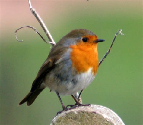 robin redbreast wildlife in the garden homes for