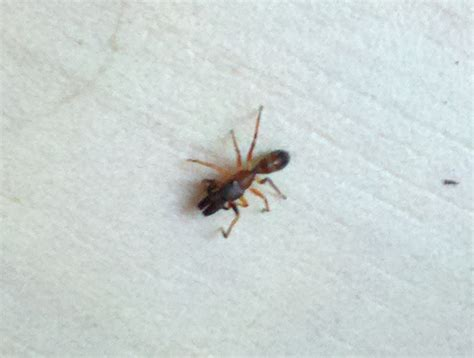ant like bugs in bathroom ant mimic jumping spider what s that bug
