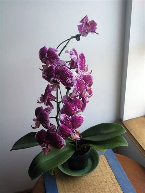 potatura orchidee in vaso come potare un orchidea come potare coltivazione orchidee