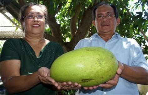 Jual Bibit Mangga Nam Dok Mai mango world record set by sergio and