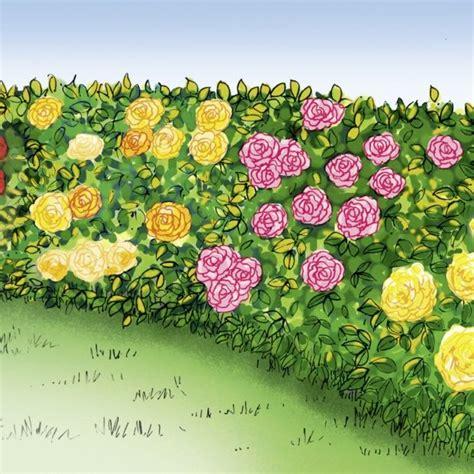pot exterieur 3623 collection de rosiers haie de roses rosier meilland