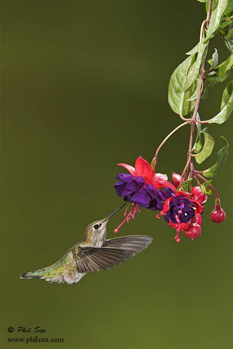 phil seu photography blog my favorite hummingbird photograph