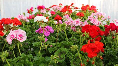 piante fiorite da giardino piante fiorite da esterno pianta perenne phlox