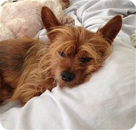 yorkie adoption ny terrier adoption ny