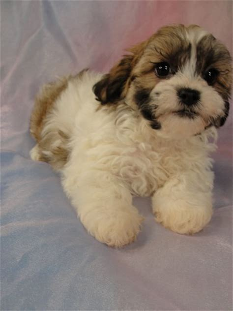 shih tzu breeders in iowa shih tzu bichon puppies for sale in iowa teddy puppies ready breeds picture