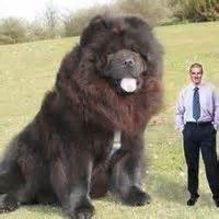 2013 1000 ideas about worlds largest dog on pinterest largest