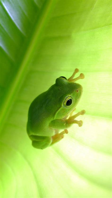 wallpaper apple frog frog on green leaf iphone wallpapers iphone 5 s 4 s 3g