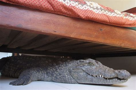 0007586779 the crocodile under the bed man discovers he slept through the night with 8 foot